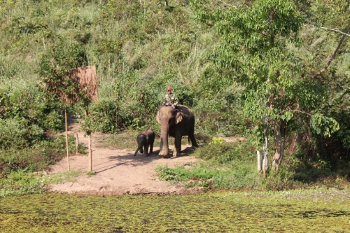Mom and calf out for a walk at the ECC in Laos
