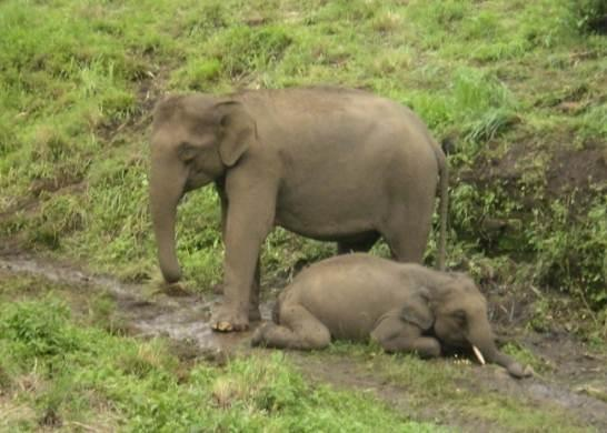 Wild elephant populations are experiencing loses due to EEHV.  This picture of a mom guarding her dying calf   sends a powerful message.  This is not just another statistic: it's another lost life  .