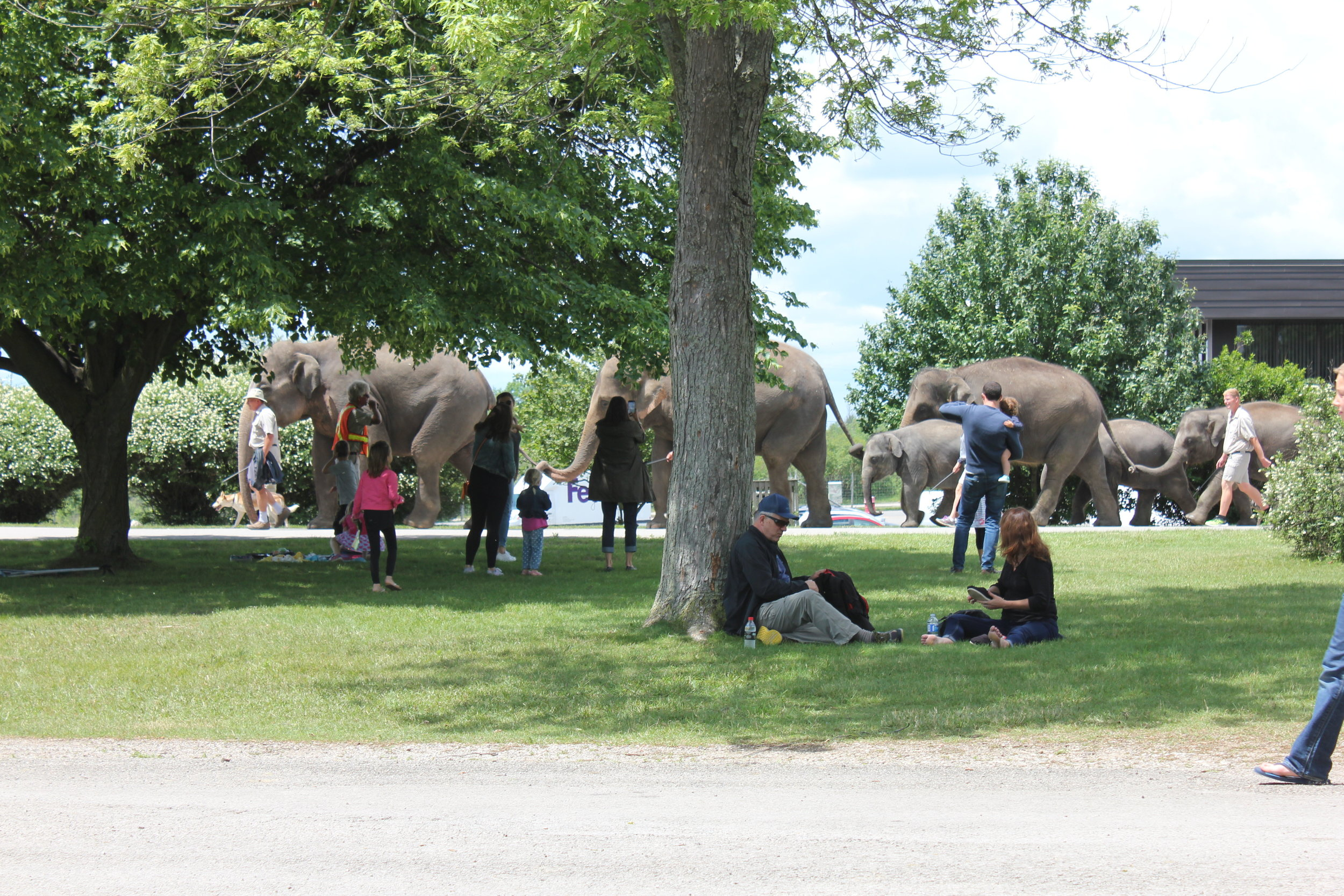 Walking the elephants at African Lion Safari