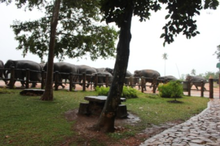 The elephants at Pinnewala coming in for the evening