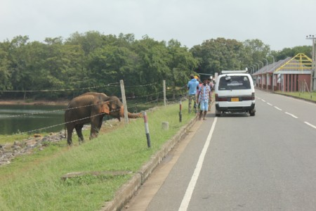 An elephant on the side of the road at Udawalawe National Park