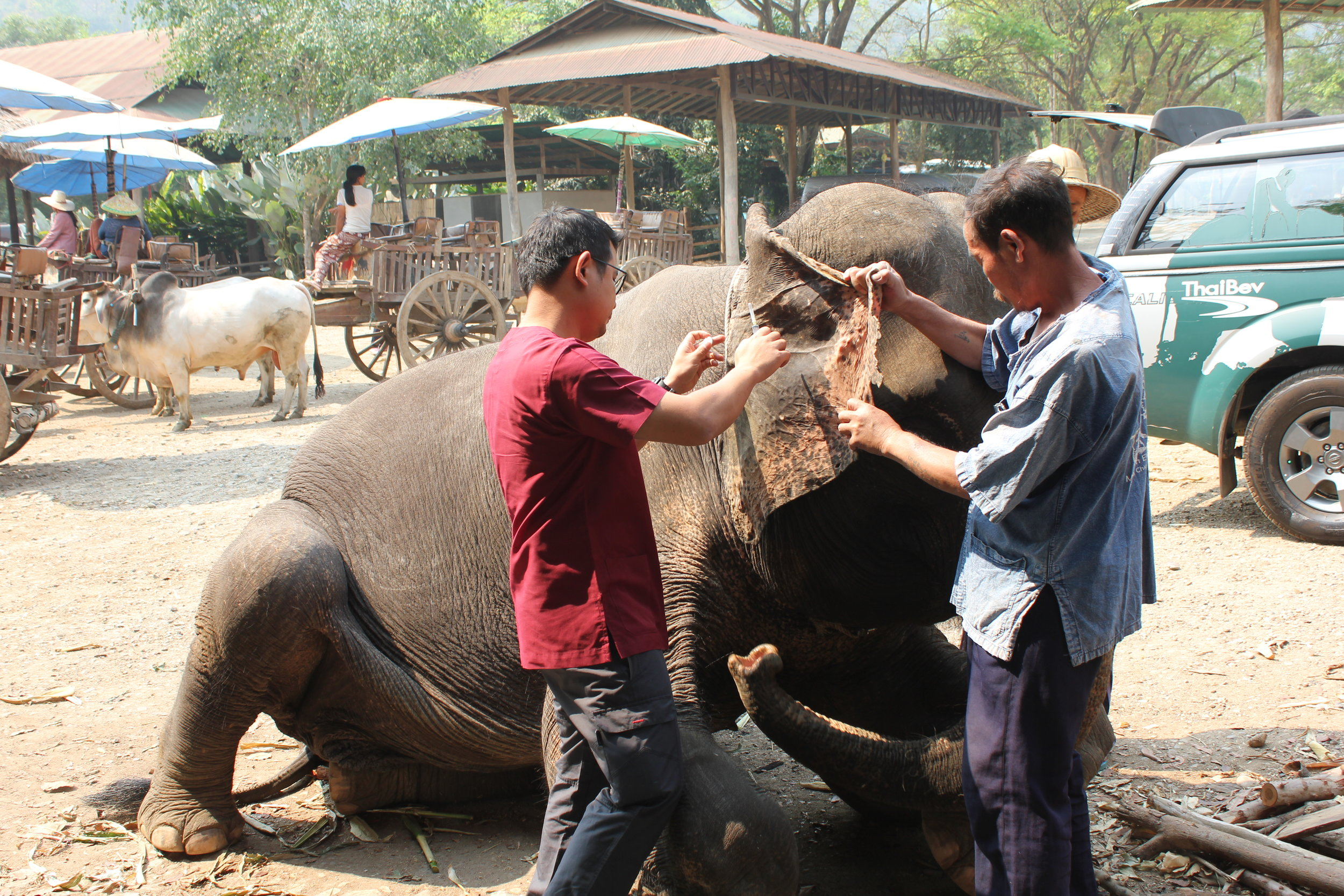 Dr. Yeaw performing a blood draw from the ear.  Typically blood draws are performed from the ear, but they can also be done on the rear leg while the elephant is standing.