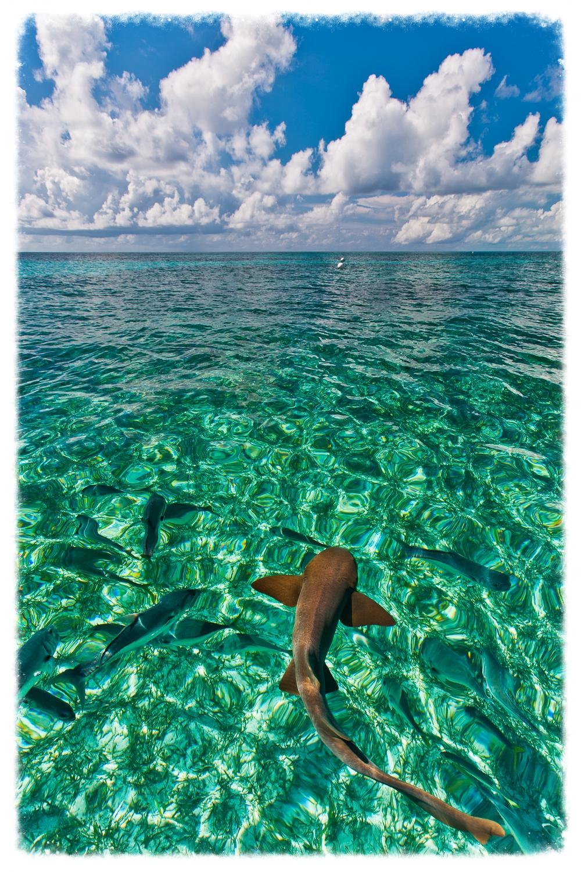 belize_shark1.jpg