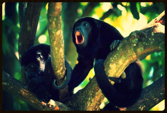 caribe-monkeys.jpg