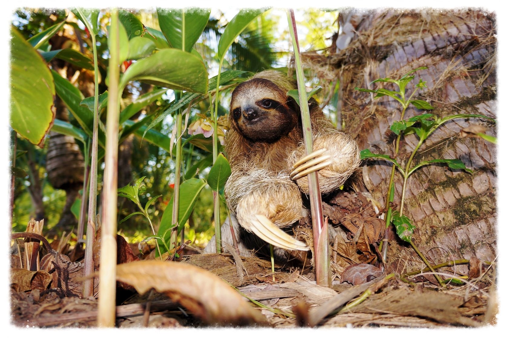 cahuita-sloth