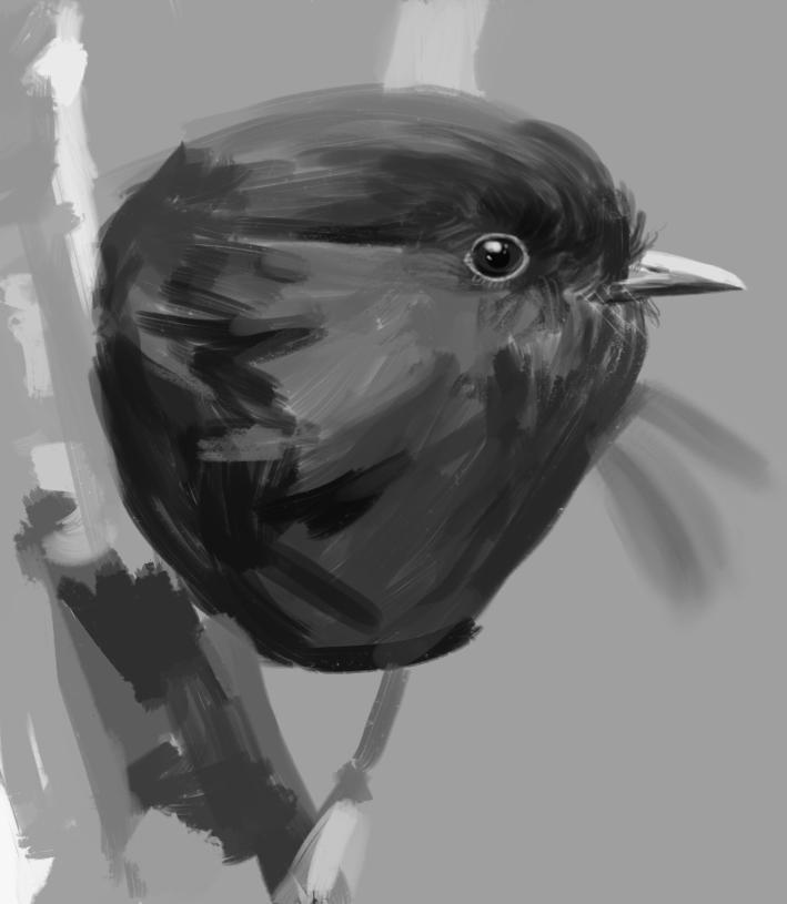 27-1-2018  black robin.jpg