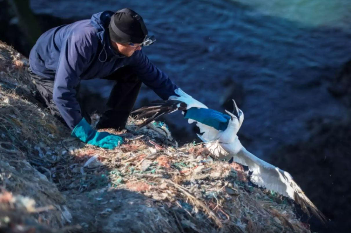 Gannet cliff rescue. ©Copyright Sam Hobson, reproduced with kind permission