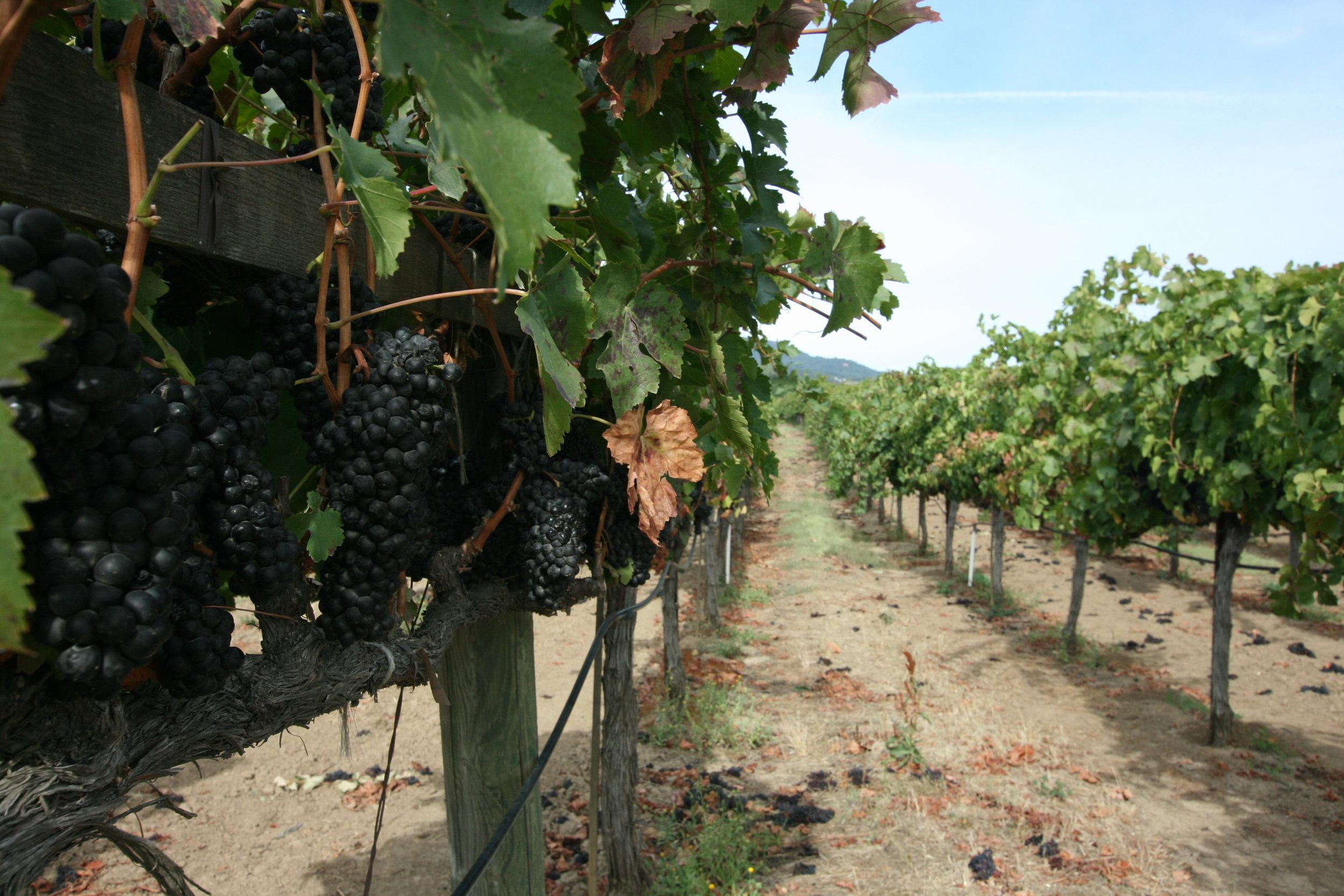 Vineyards awaiting pickers.