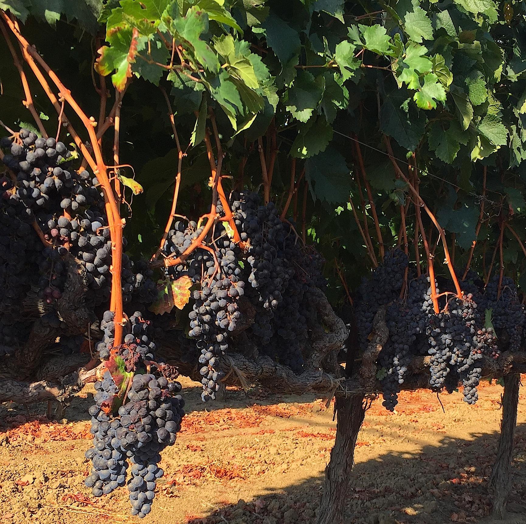 Grapes, grapes, more grapes.