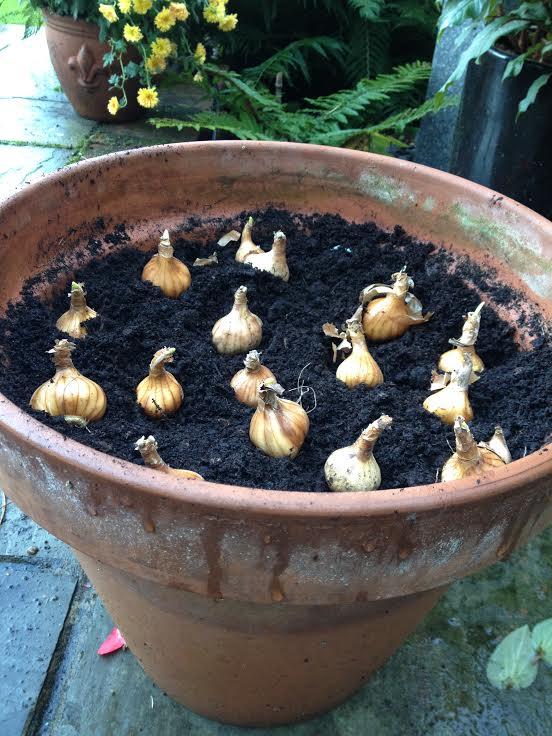 tulip bulbs.jpg