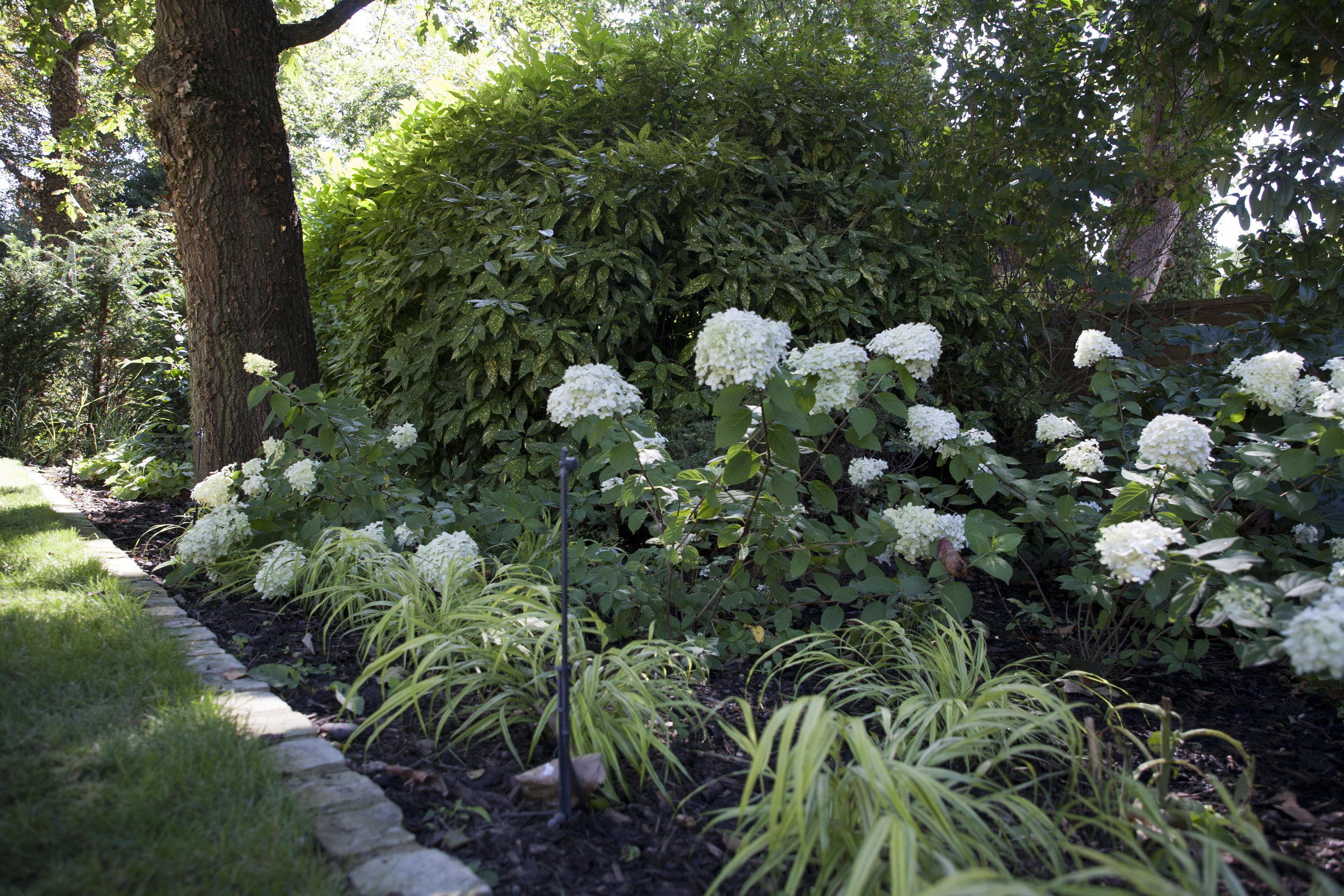 - Hydrangea 'Limelight' and golden Hakone grass light up the shady areas of the garden.