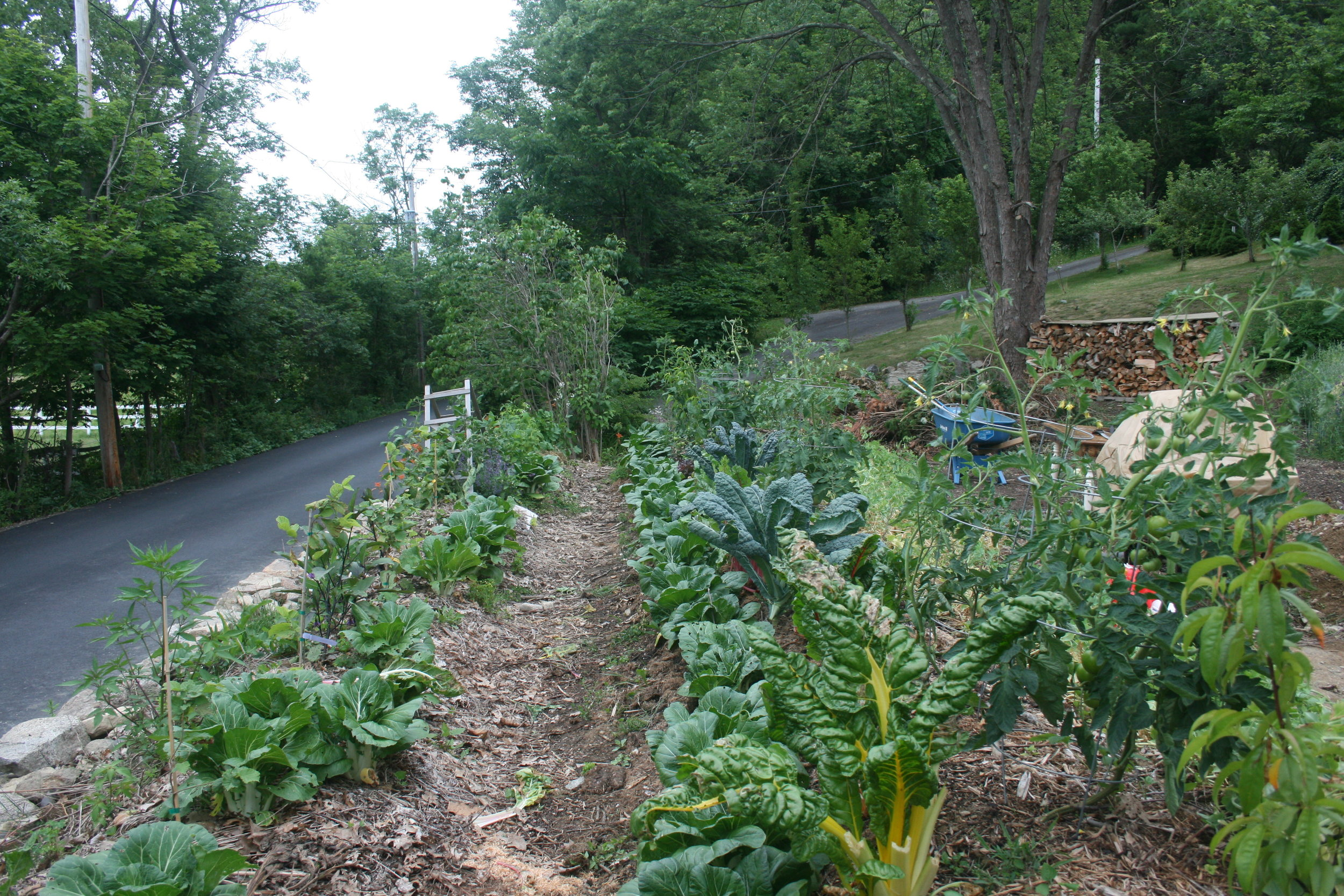 Here is those two bed this summer...planted and green! There is the beginnings of a hazelnut / raspberry hedge (interplanted with annuals) and a row of fruit trees / shrubs (peaches, cherry and seaberry, underplanted with annuals and perennial shrubs)