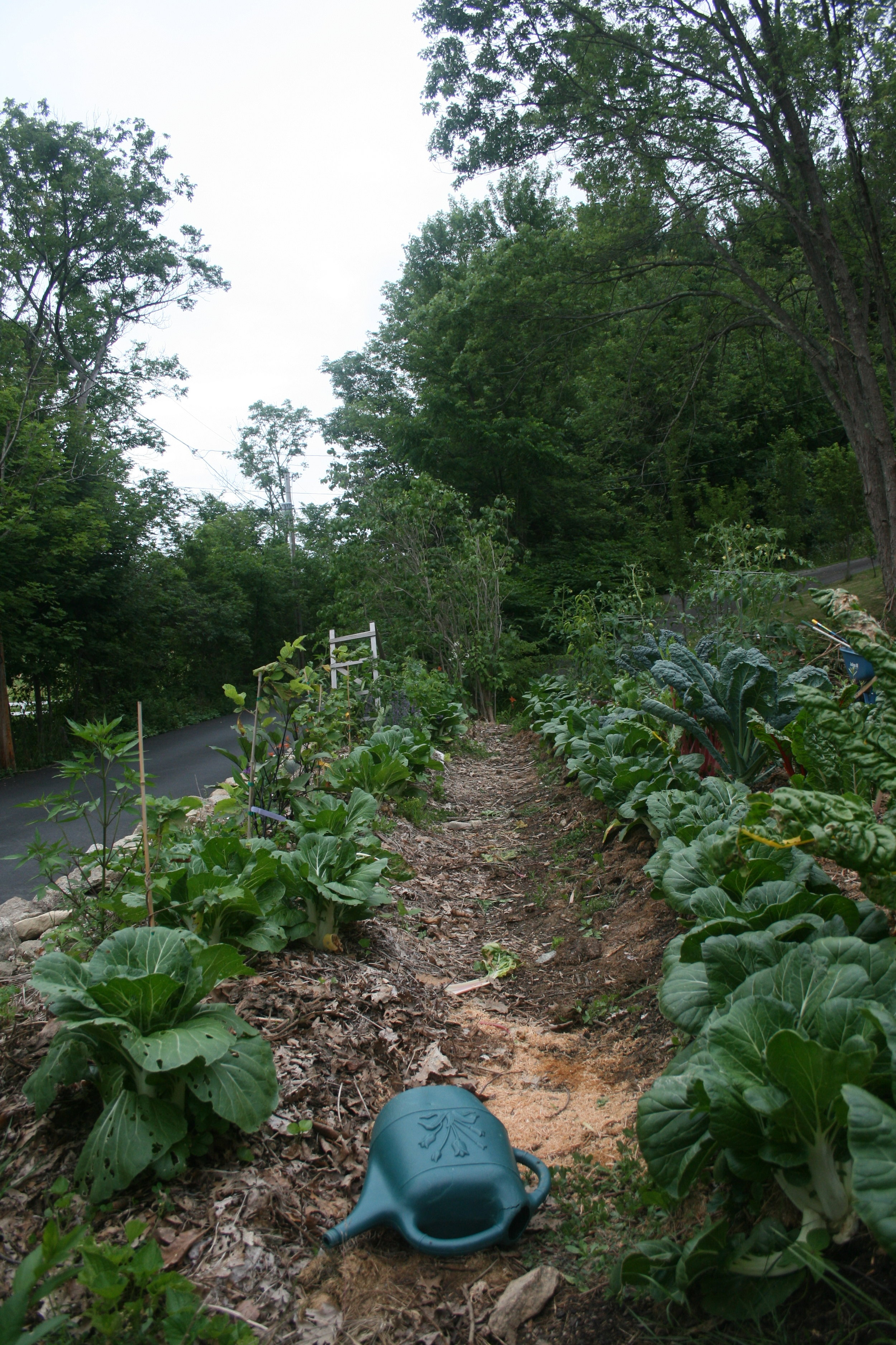 July 2017  Back Hugelkultur beds, the little twigs are growing, on the left you have Hazelnuts, followed by raspberries at the far end. On the right we have a mix of peaches, dwarf sour cherry, seaberry and guomi.