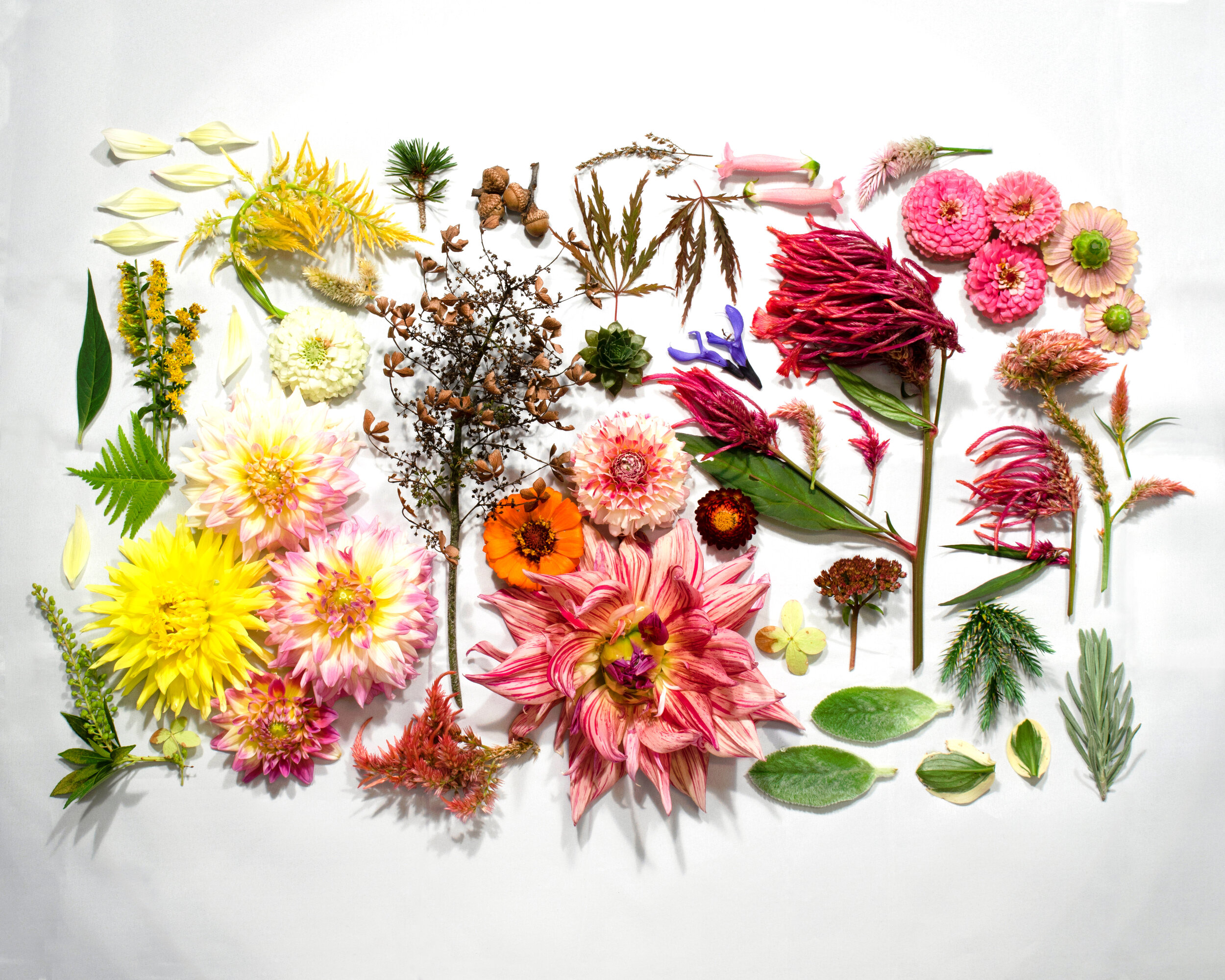 371 Dover Drive - Dahlia-lover's dream photo. This flat-lay collection of flowers from 371 Dover Drive was photographed in 2018 and printed on post-industrial cotton fibers with no-VOC ink. The archival quality print will brighten any room.