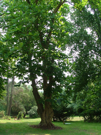 Magnolia tree.png