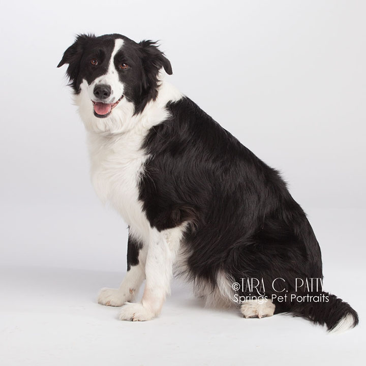 border-collie-pictures-Colorado-prings.jpg