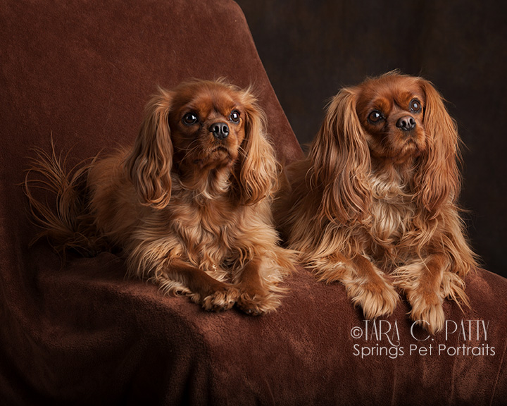 King Charles spaniel dog photos in Colorado Springs