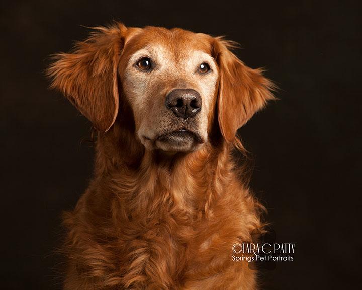 older-Golden-retirever-dog-pictures-Colorado-Springs-dog-photographer-TaraPatty.jpg