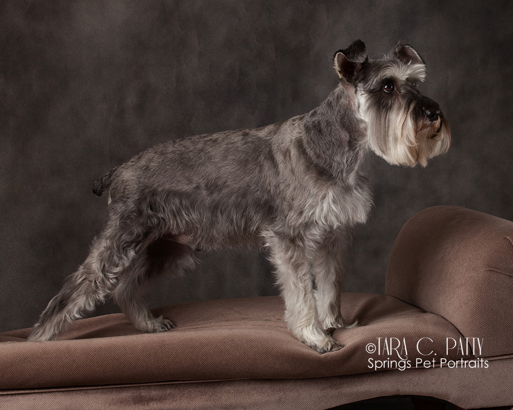 Scottish-terrier-dog-portraits-Colorado-SPrings-dog-photographer.jpg