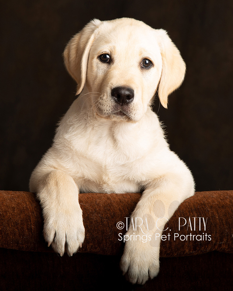 Yellow-lab-puppies-photos-in-Colorado-Springs.jpg