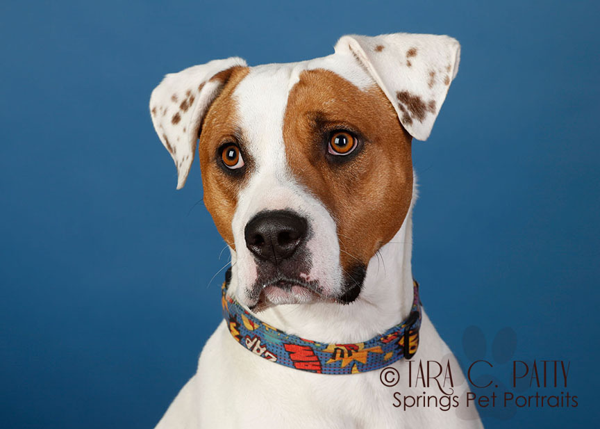 pit-mix-dog-portraits-Colorado-Springs.jpg