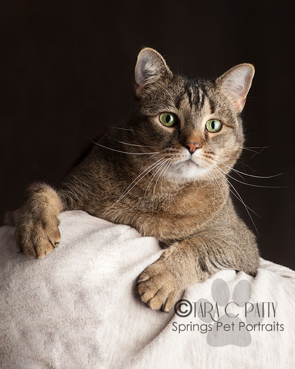 Studio cat photos in Colorado Springs