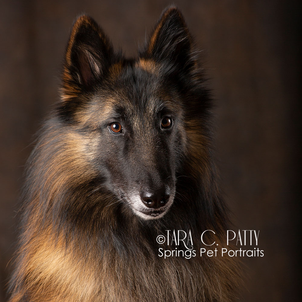 Belgian-Tervuren-dog-pictures-in-COlorado-Springs.jpg