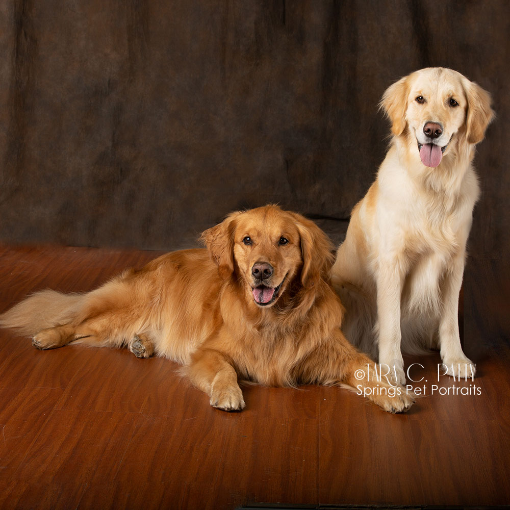 Golden-retriever-dogs-COlorado-Springs-best-Dog-photographer.jpg