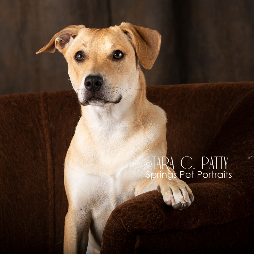 yellow-lab-mix-dog-photos-in-Colorado-Springs.jpg