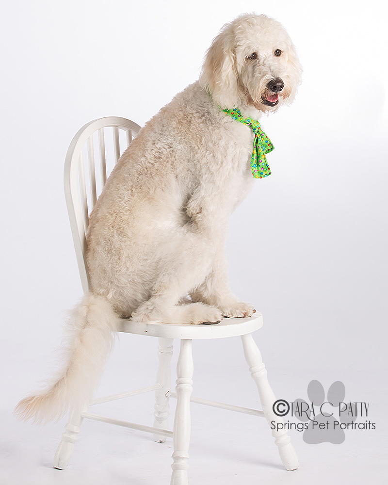 WHite-labradoodle-dog-pictures-in-Colorado-Springs