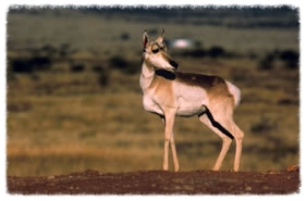 Pronghorn Antelope on a hill  (Diablo Trust archives)