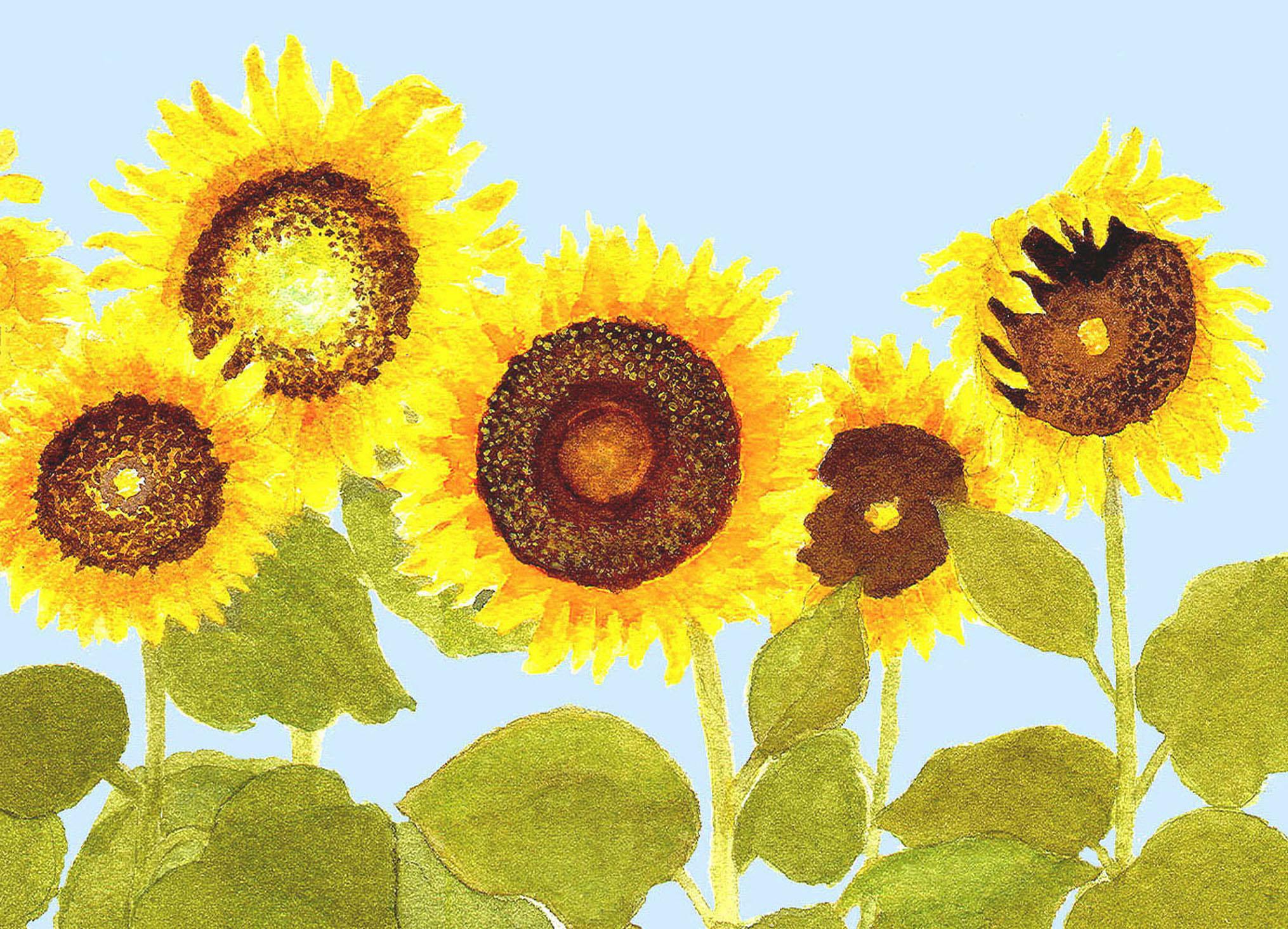 sunflowers 2011 in row.jpg