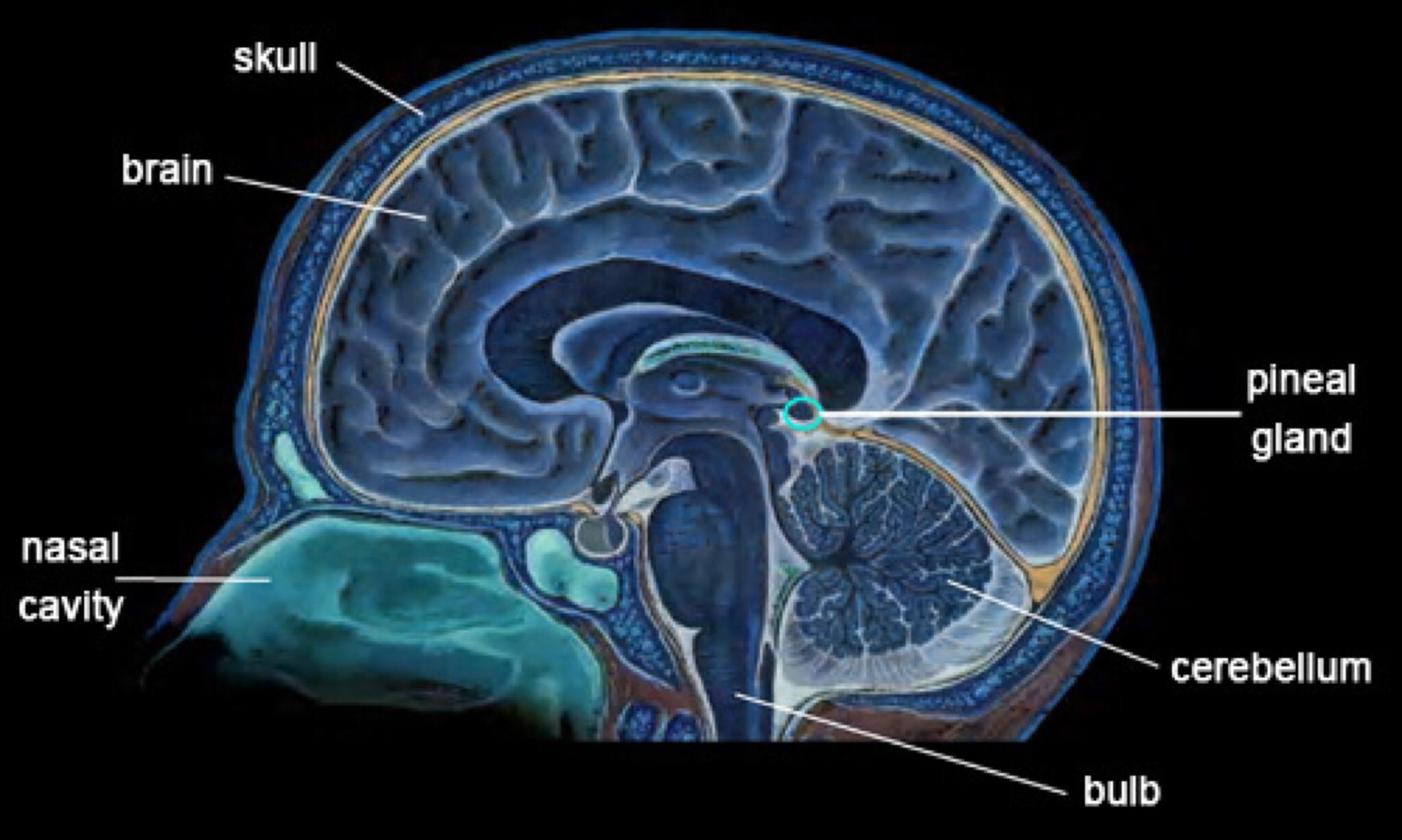 brain-and-pineal-gland-jpg-1.jpg