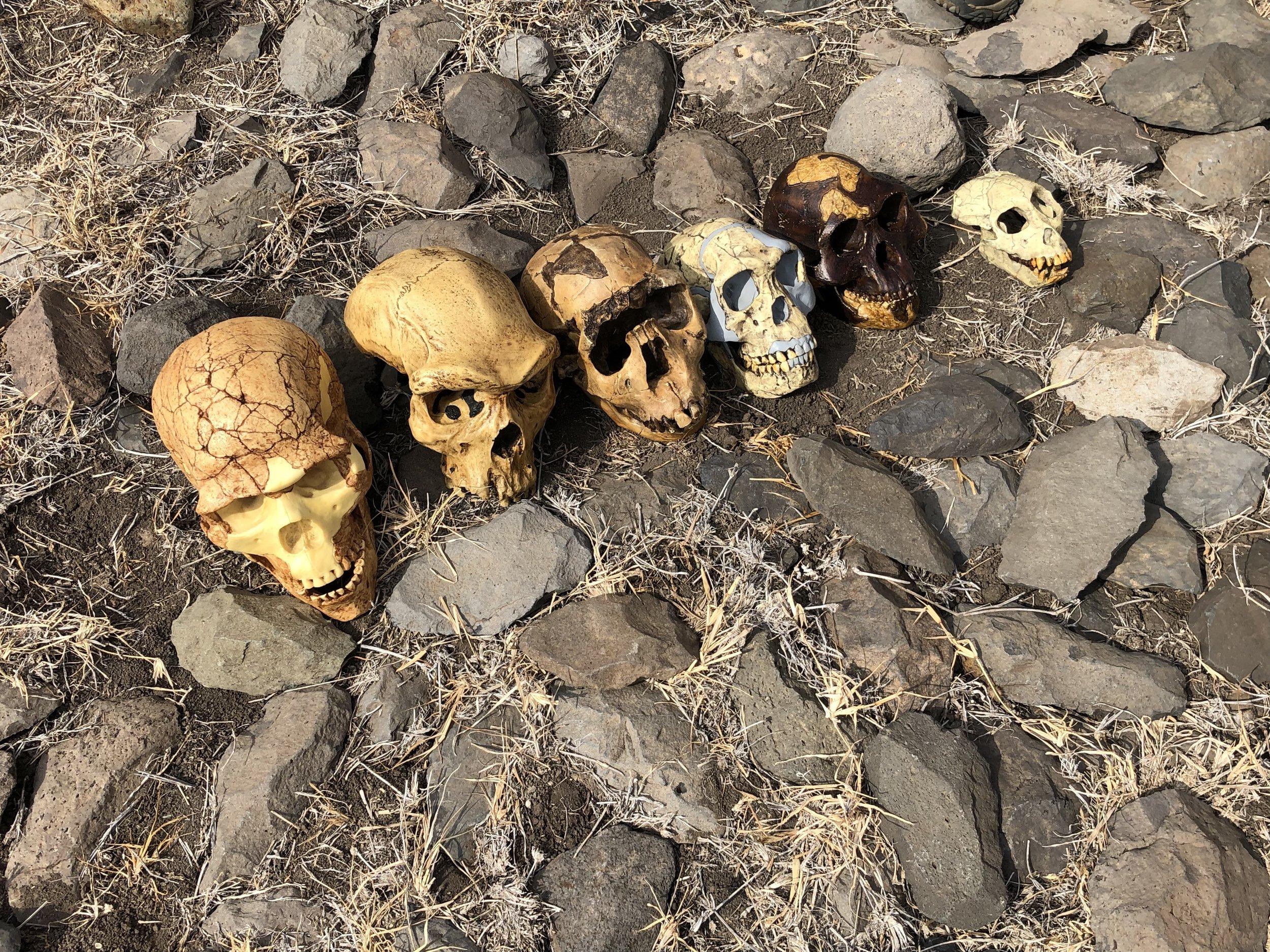 Skulls at Lewa Dr. Bill Schindler.jpg