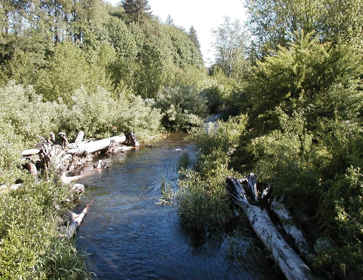 Five Years Later - Native willows flourishing, creek now used by coho salmon!