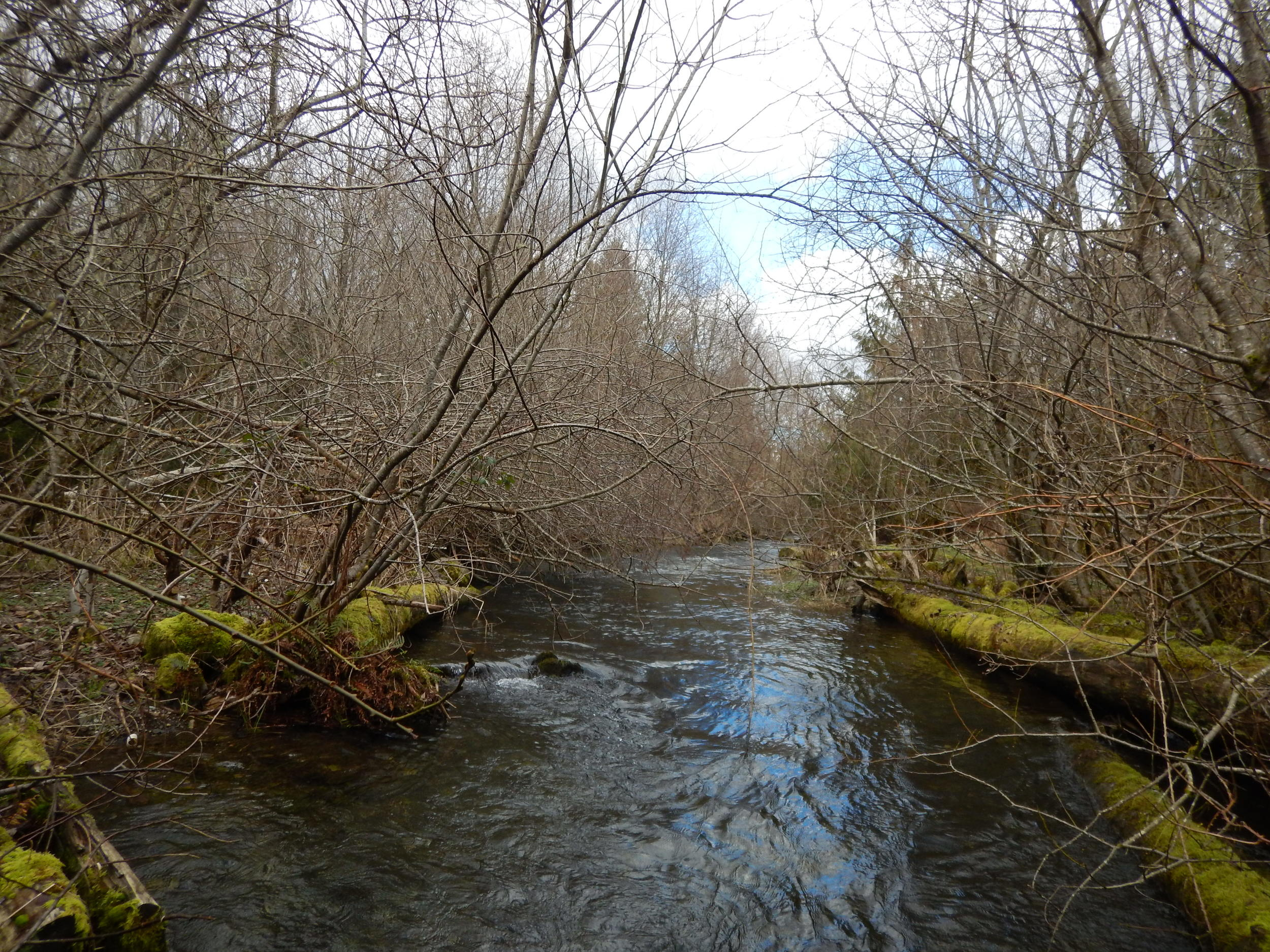 In 2016, Kendall Creek is properly shrouded by the native trees and shrubs planted by NSEA in 2003.