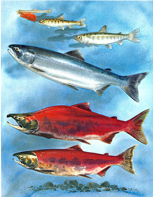 Sockeye salmon life stages - no dark spots and lots of red