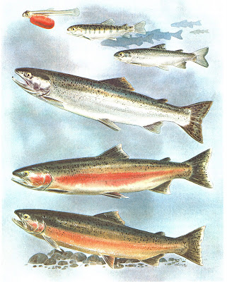 Steelhead trout life stages - note the dark spots