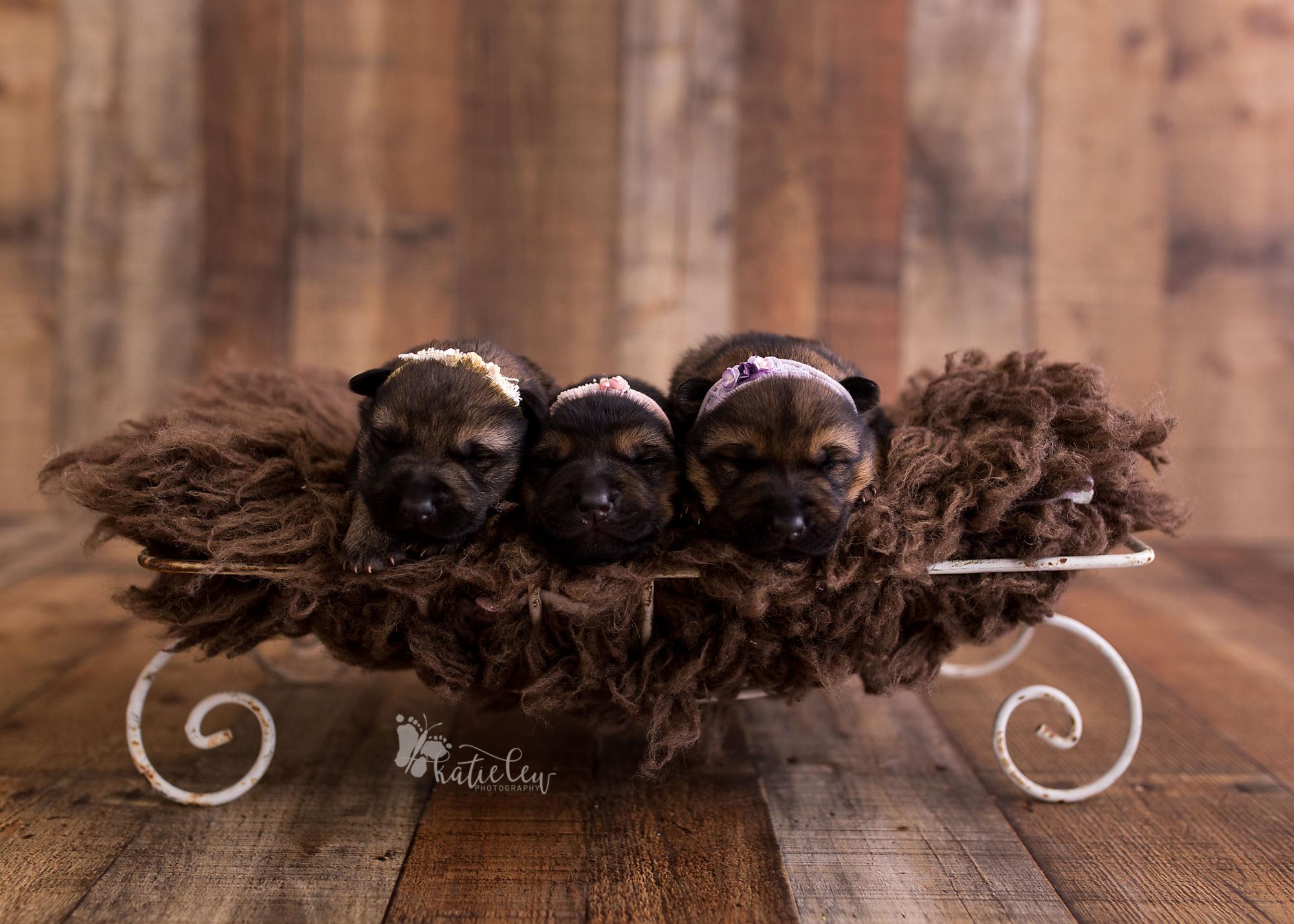 german shepherd girl puppies