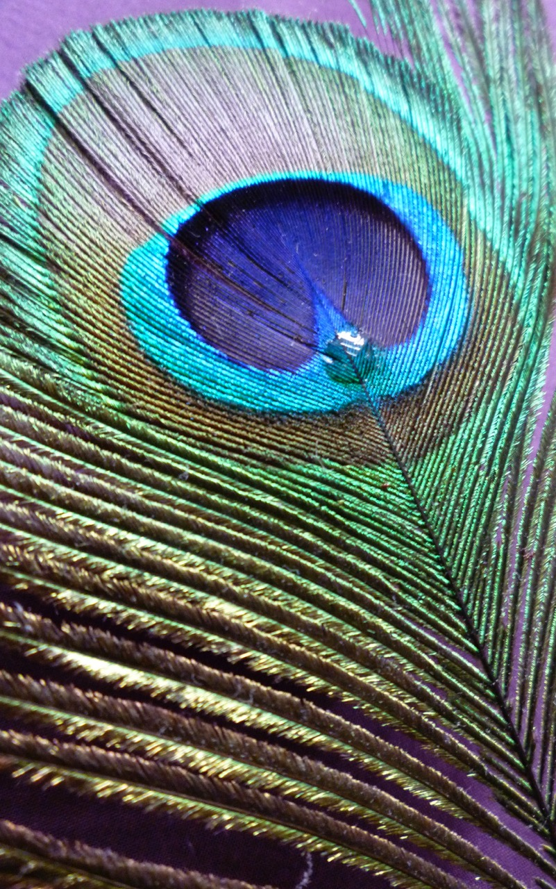 Peacock feather with droplet