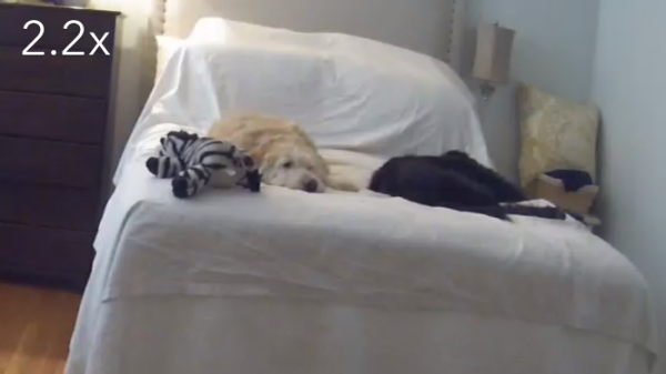 We have a dropcam in our room so we can see them while we are at work (a little extreme, I know). It's mainly to see if they have destroyed anything. This is their usual position...on our bed with the zebra!