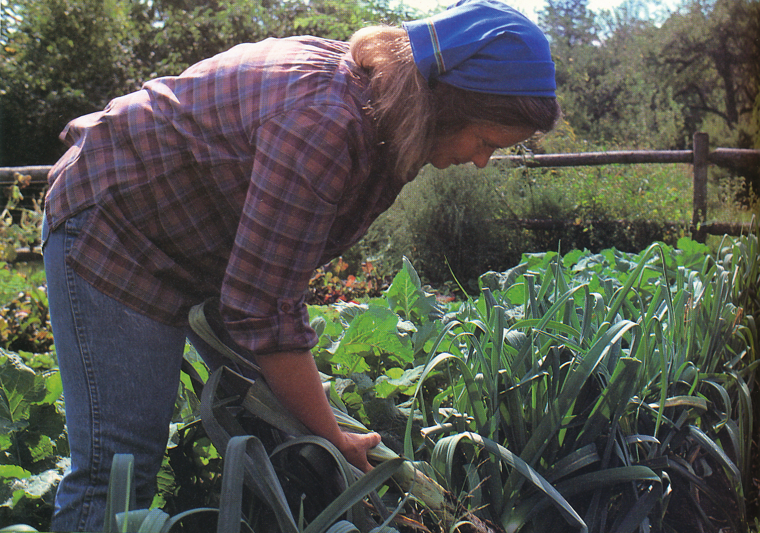 A garden full of leeks. From 'The Victory Garden Cookbook', 1982.