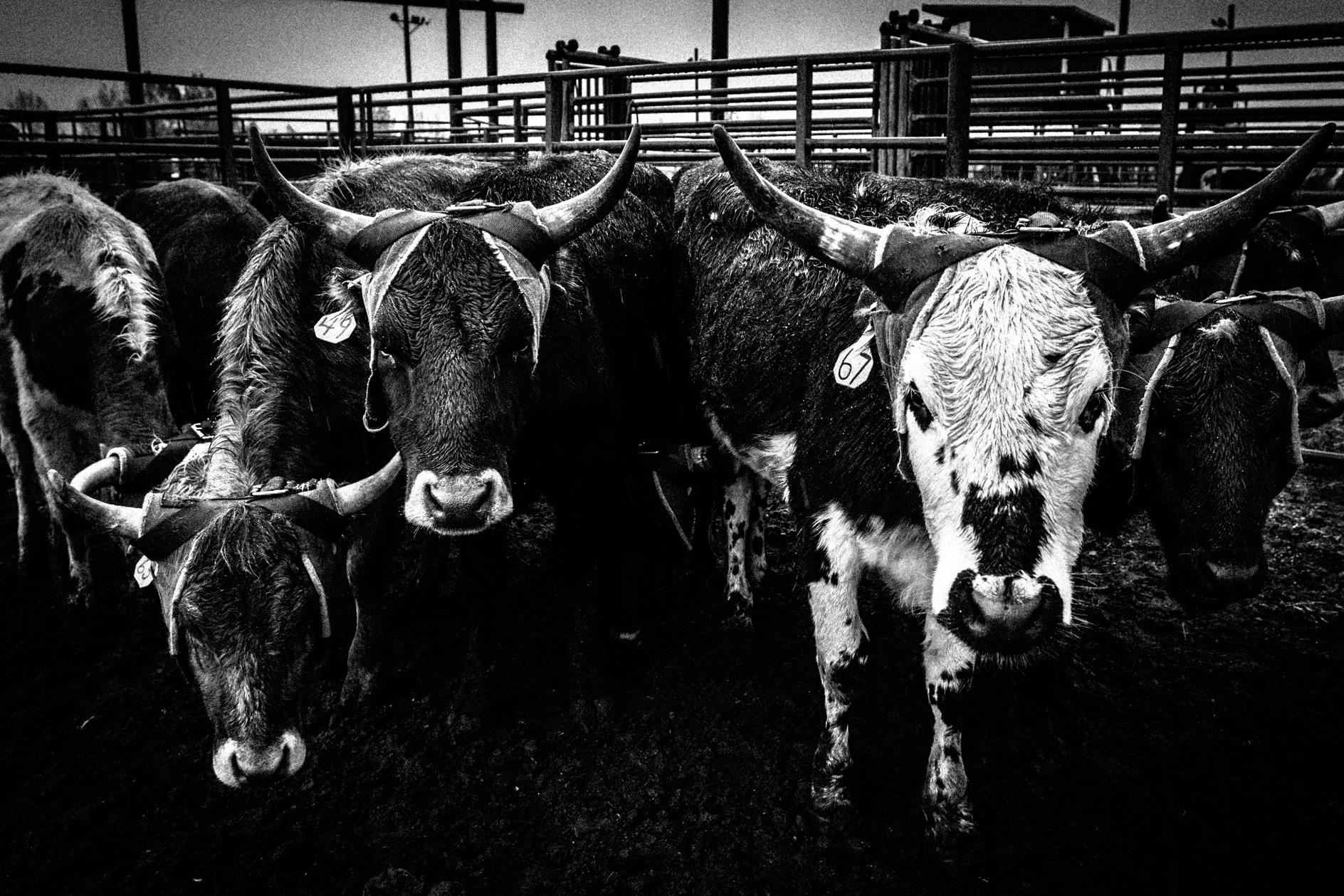 Montana-Junior-Rodeo-Bozeman-Photographer.JPG