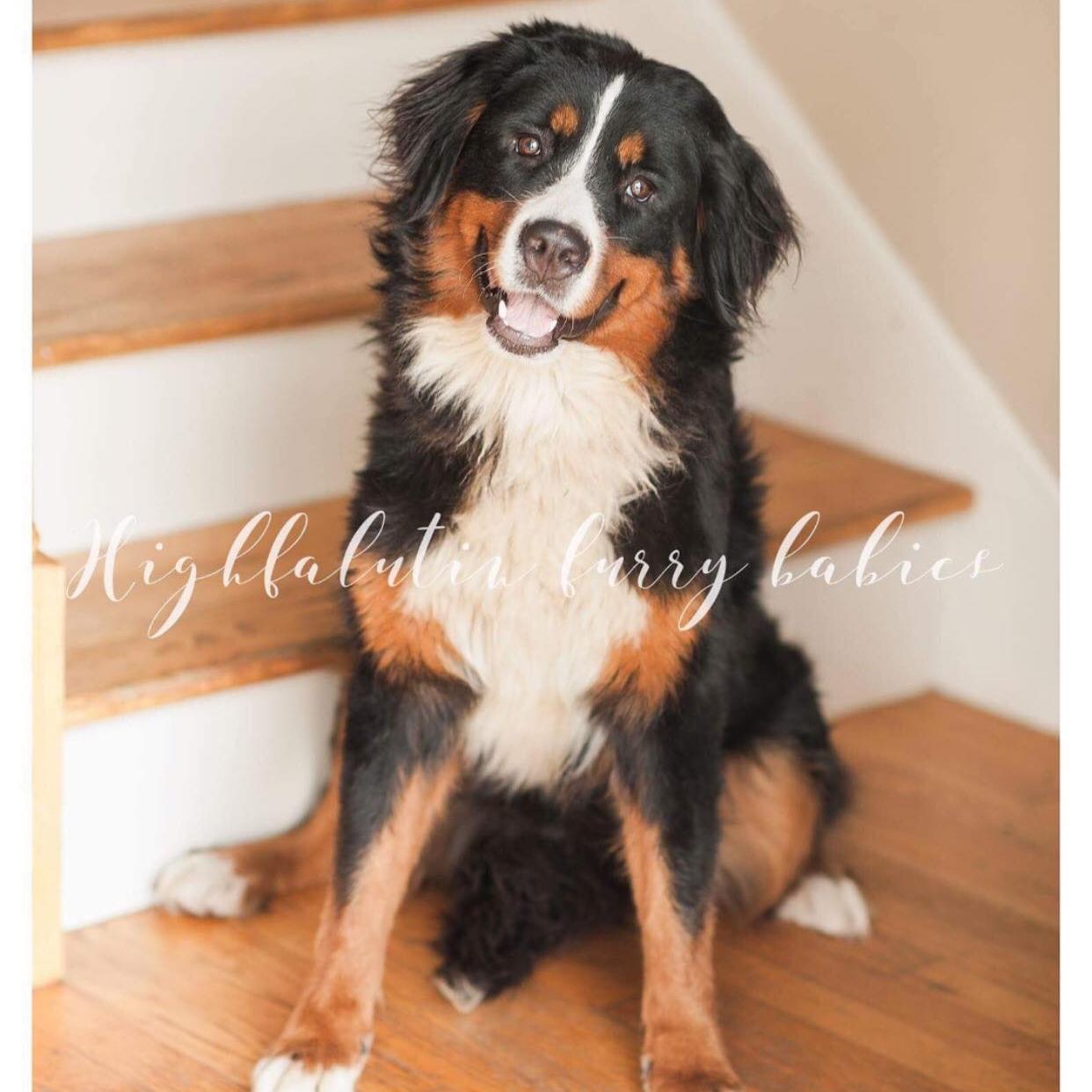 Sunny - Bernese Mountain Dog Momma