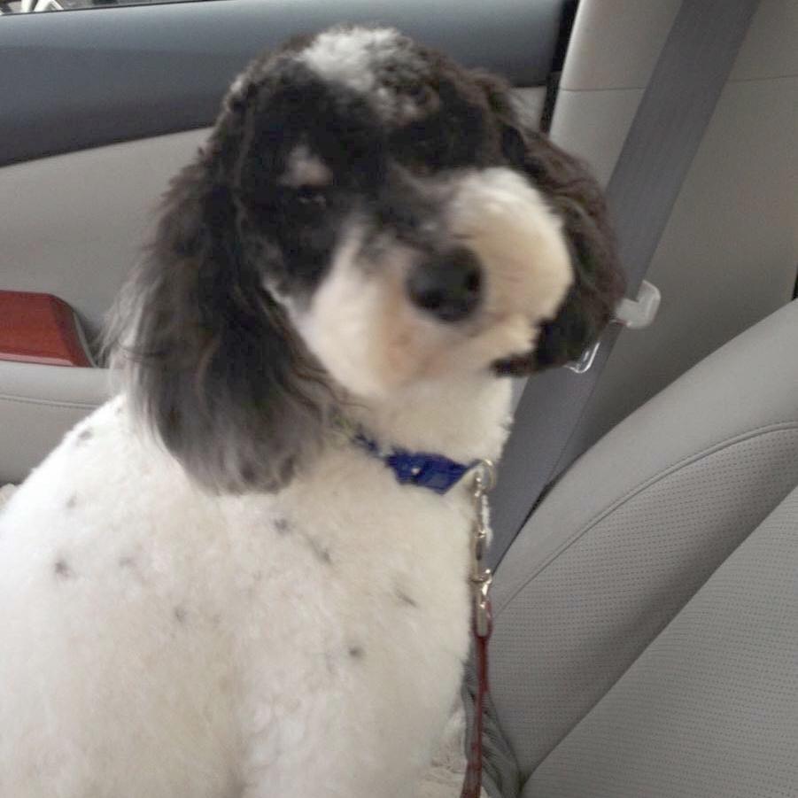 Dash - Miniature Poodle Stud