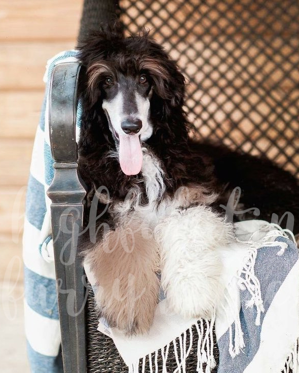 Kendall - Standard Poodle Momma