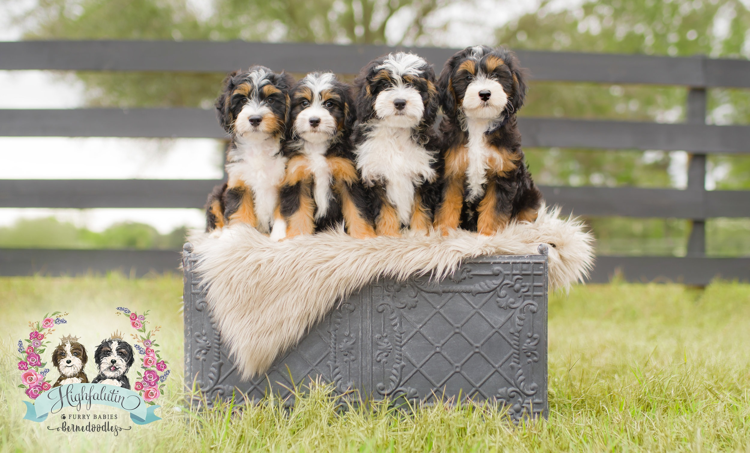 Welcome to Highfalutin Furry Babies - Boutique Bernedoodle Breeder