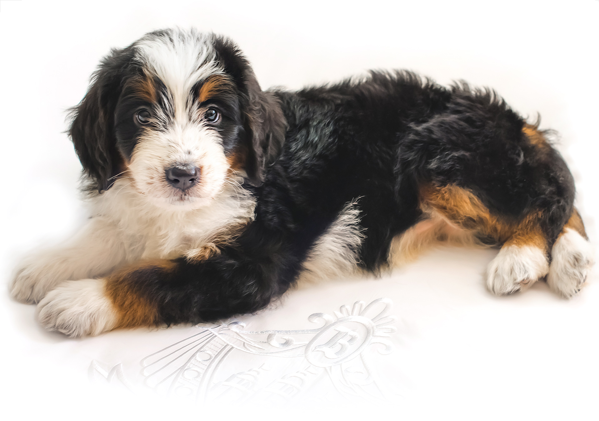 We are boutique Bernedoodle breeders - We specialize in raising beautiful bernedoodle puppies from only the very best breeding lines which make ideal pets, therapy dogs and service dogs.