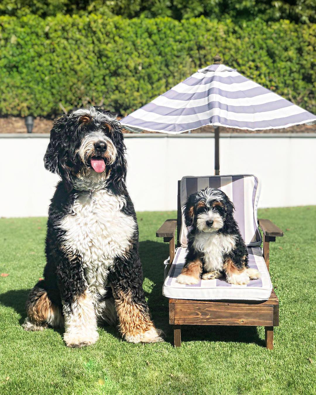 Big and Little Bernedoodle.jpg