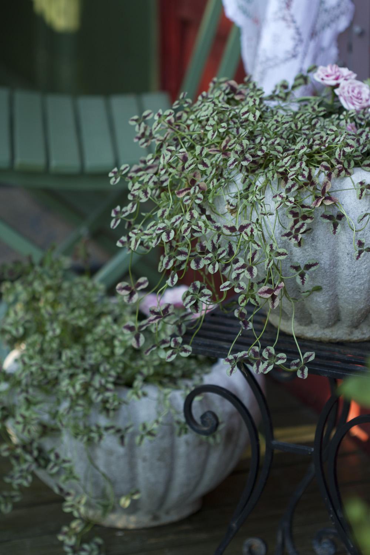 Jeg er like begeistret over kløver i år også. Jeg plantet en burgunder på gravplassen til farmor og farfar i fjor. Nå er den så fin igjen. Her er en lysere variant plantet i de fine krukkene jeg fikk av mors vennine Astrid. Er de ikke fine?